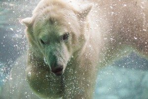 Photo: Supplied by the Cochrane Polar Bear Habitat