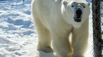 Photo: Ganuk, one of three bears at the Cochrane Polar Bear Habitat. Supplied by Taylor Ablett.